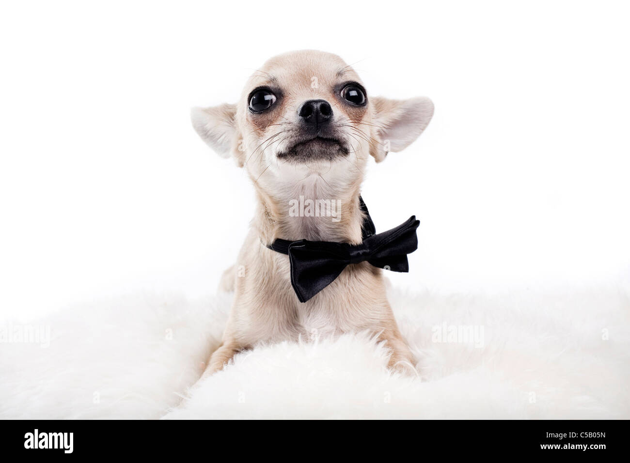 Portrait of cute Chihuahua with eyes wide open wearing neck tie against white background - Stock Image