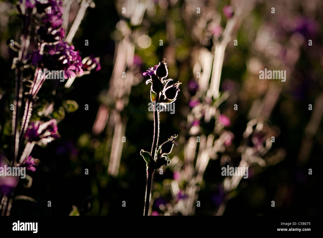 Silhouette of backlit Silene dioica flowers. Also known as red campion. Stock Photo