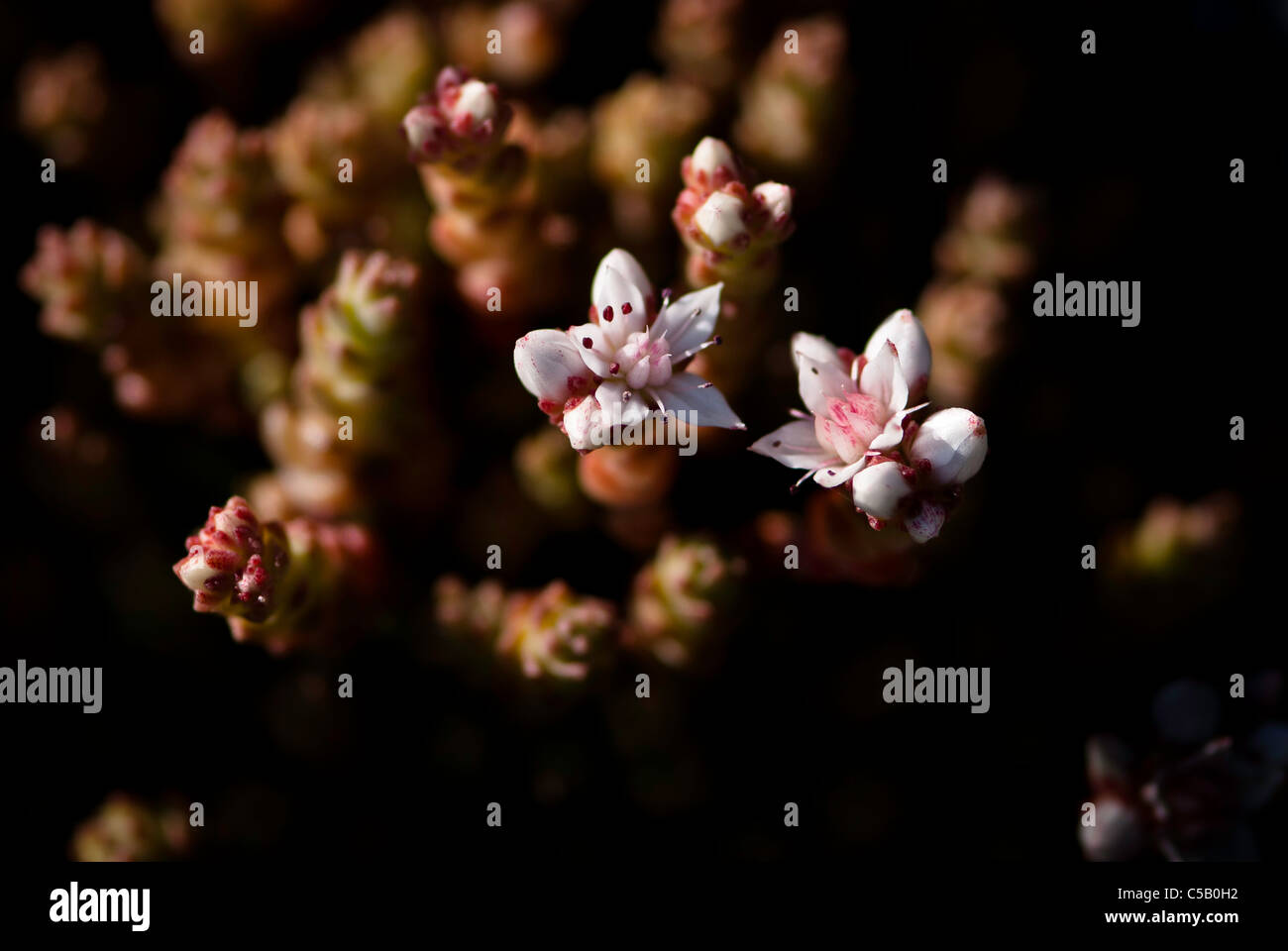 Close up of Sedum anglicum flowers. Also known as English Stonecrop. Stock Photo
