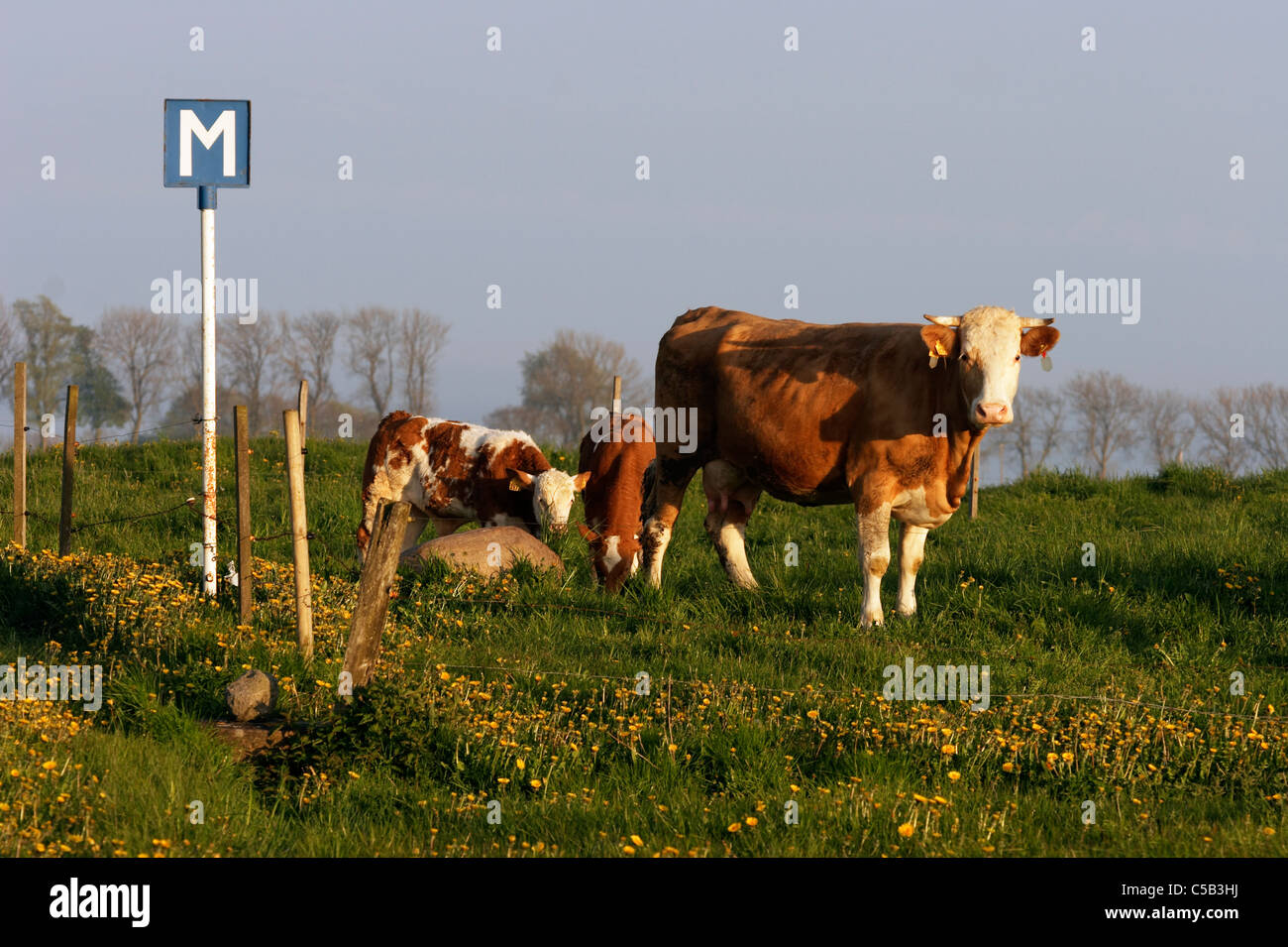 Signboard by cow with calves at an enclosed pasture - Stock Image