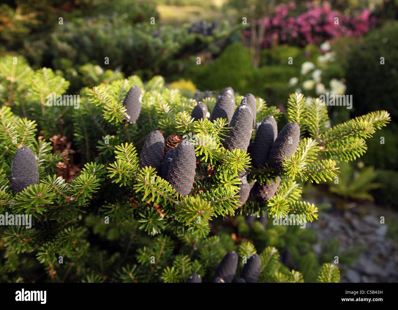 Abies Koreana cones showing seepage of sap - Stock Image