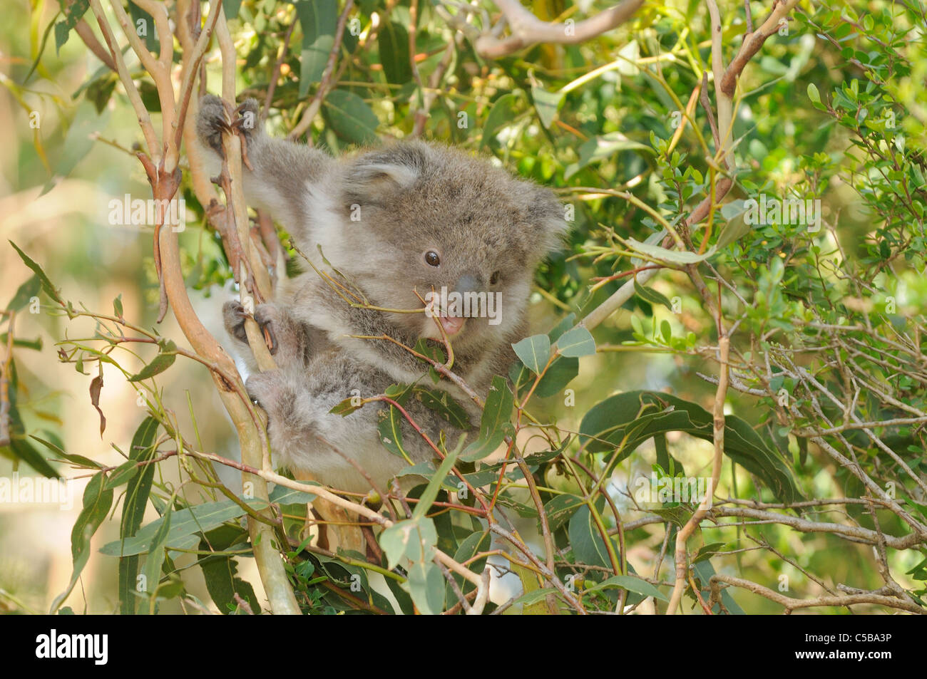 Koala Phascolarctos cinereus Young in tree Photographed in Victoria, Australia - Stock Image