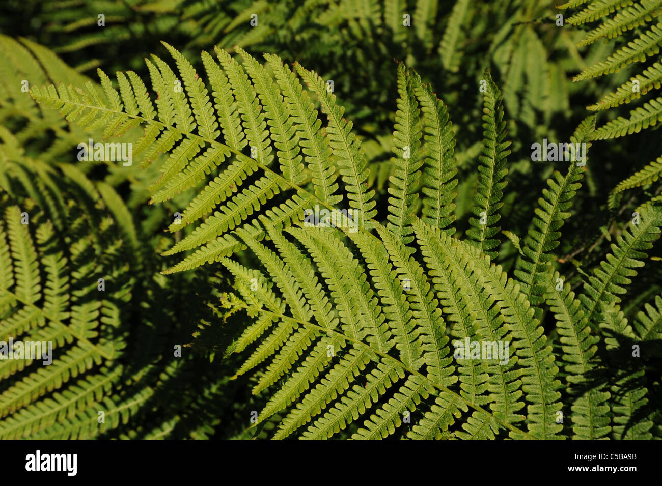 Bracken or fern shot using natural light - Stock Image