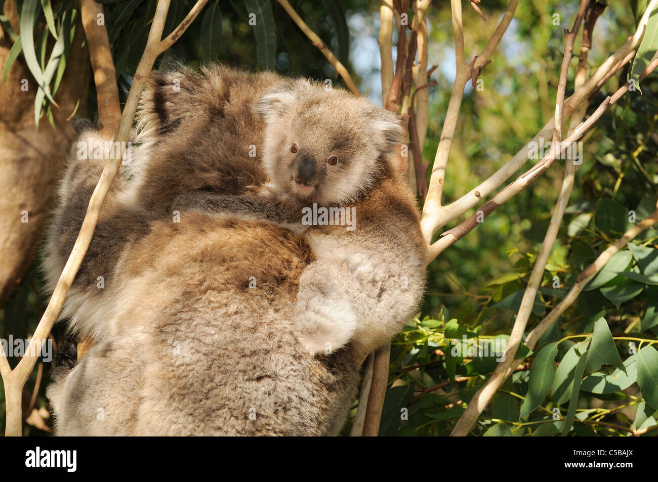 Koala Phascolarctos cinereus Young on mothers back Photographed in Victoria, Australia - Stock Image