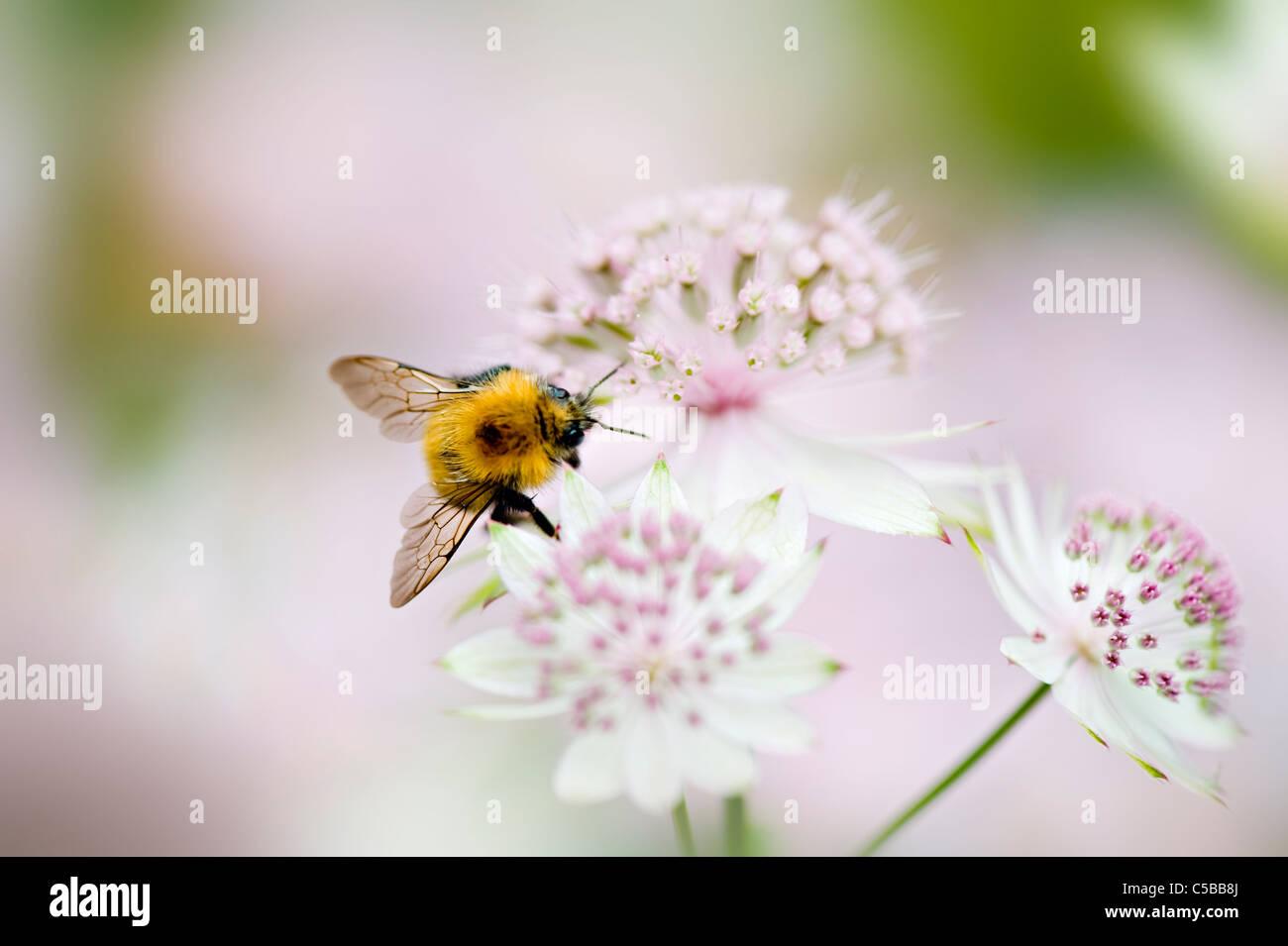 A european Honeybee  - Apis mellifera collecting pollen from and Astrantia flower -masterwort - Stock Image
