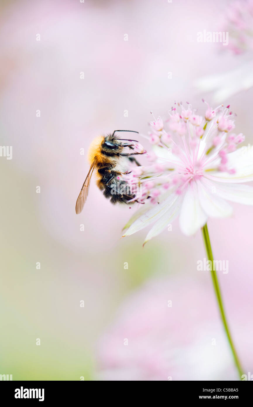 A european Honeybee  - Apis mellifera collecting p commonly known as Masterwort . - Stock Image