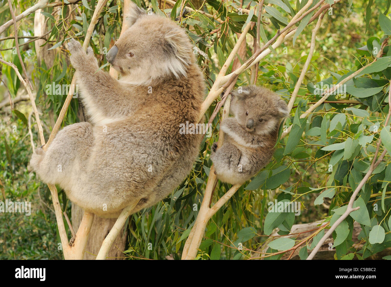 Koala Phascolarctos cinereus Mother and joey Photographed in Victoria, Australia - Stock Image