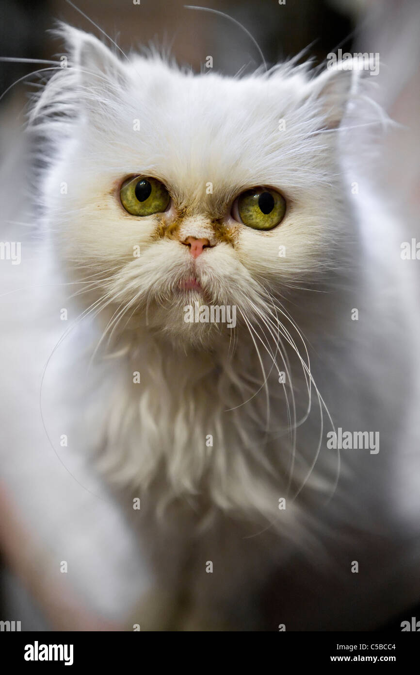 6cba05c2f1 Extreme close-up of a Squinting White Turkish Angora cat Stock Photo ...