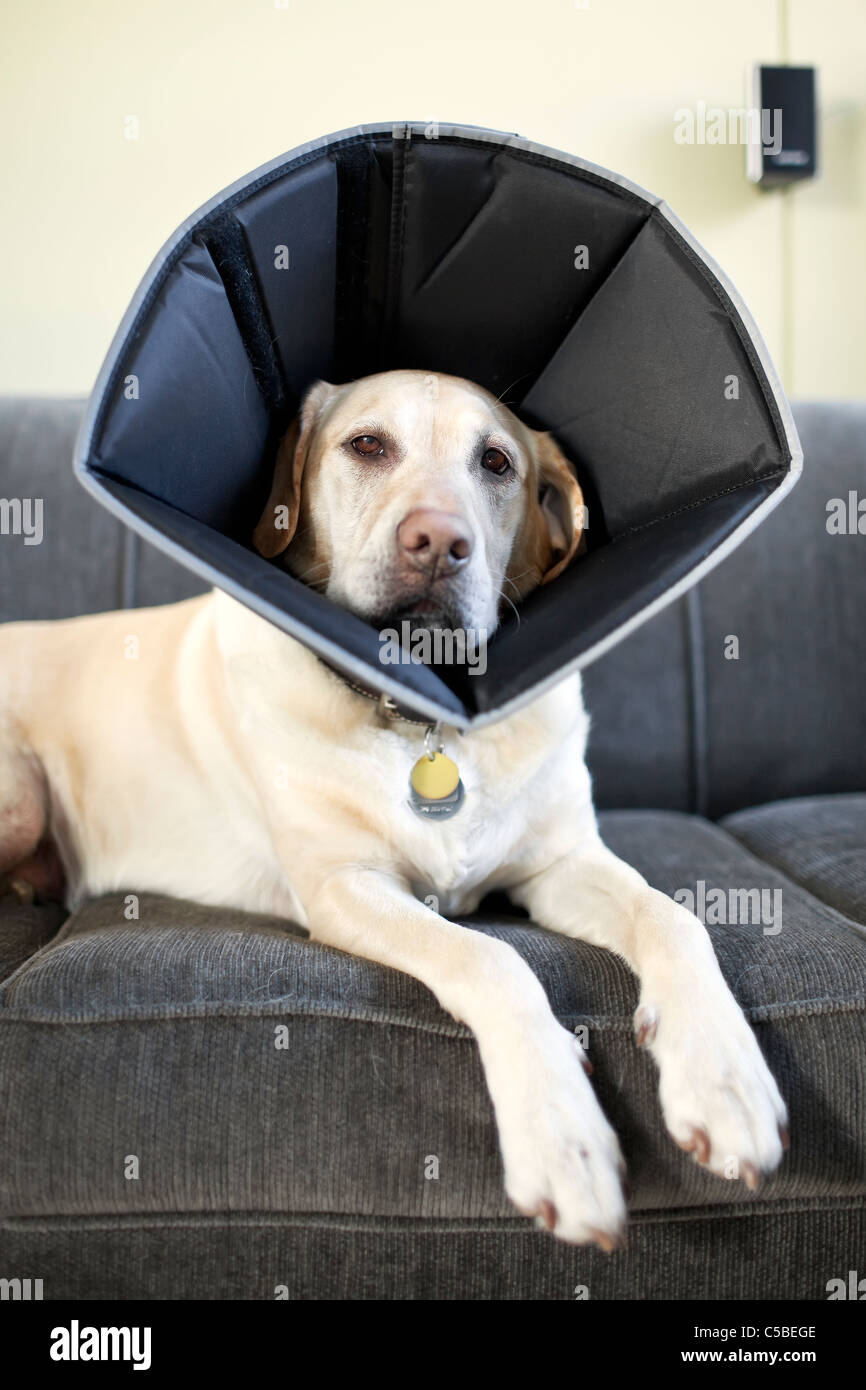 Dog wearing a protective cone or Elizabethan collar, lying on sofa. - Stock Image