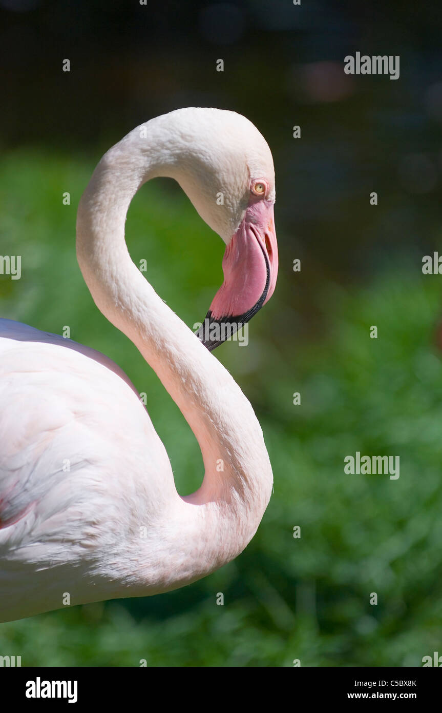 Profile shot of a flamingo against blurred green background - Stock Image