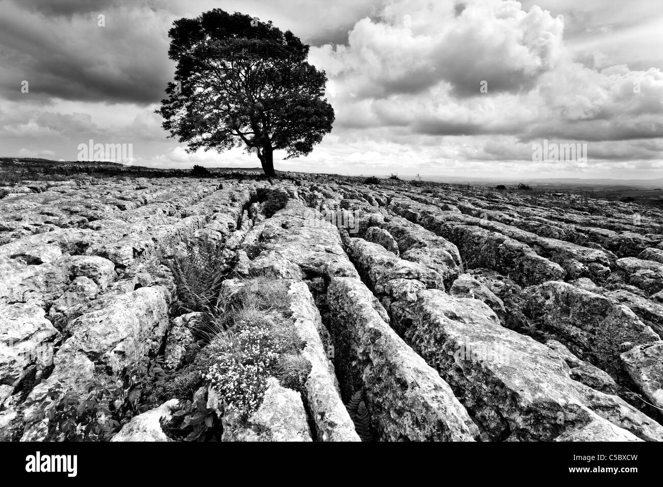 Lone tree and limestone pavement above Malham Cove and Gordale Scar, Malhamdale, Yorkshire Dales - Stock Image