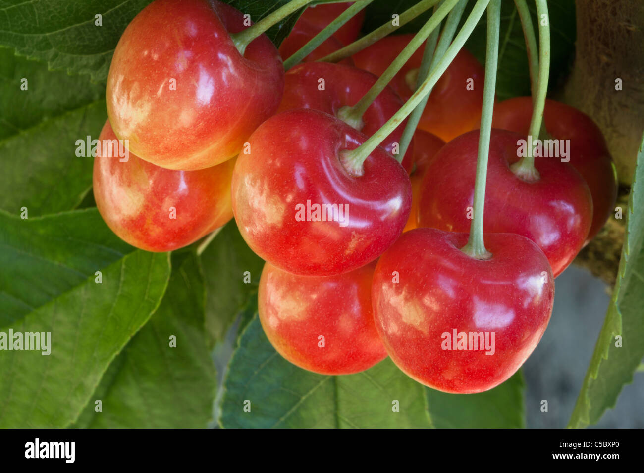 Cherries 'Rainier'  foliage, branch. - Stock Image