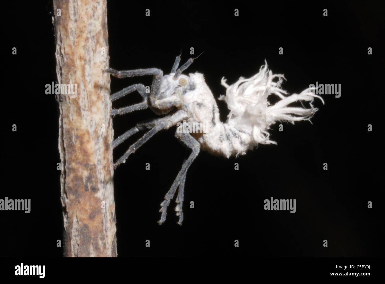 Flatid Bug larva (Flatidae sp. aka plant hopper) in Isalo National Park, Madagascar. August 2010. - Stock Image