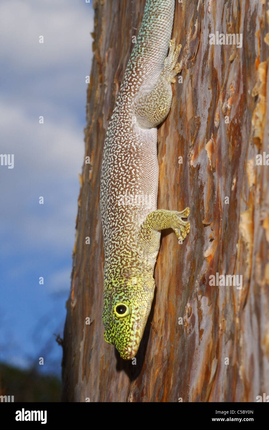 Standing's Day Gecko (Phelsuma standingi) in the spiny cactus forest of Reniala Nature Reserve, Ifaty, western - Stock Image