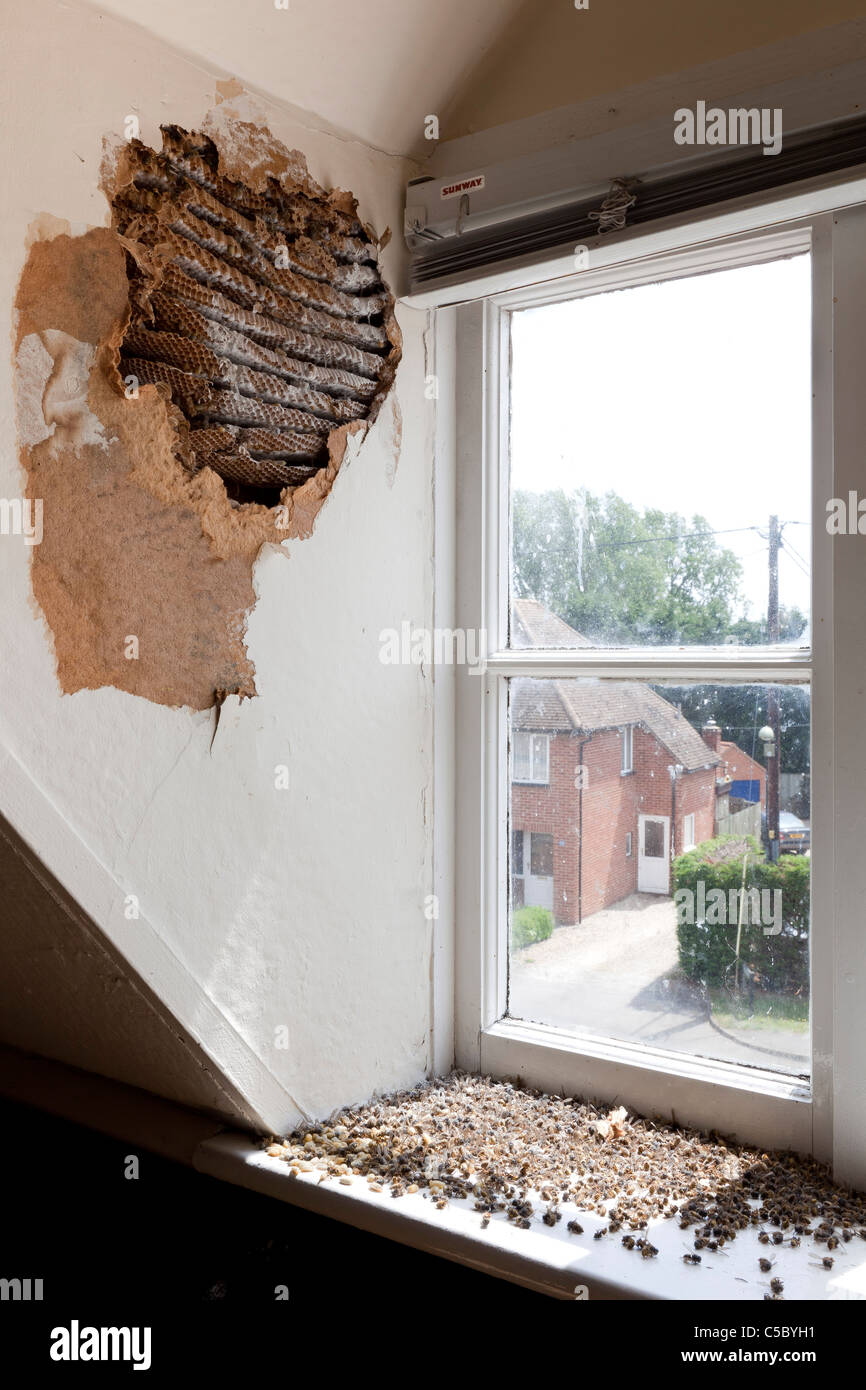 Exposed And Treated Wasp Nest Infestation In Dormer Window