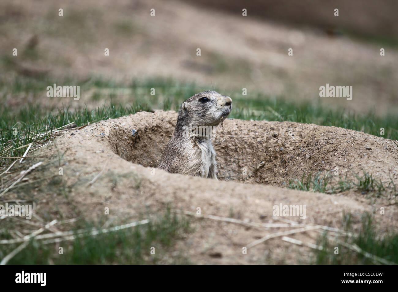 Prairie dog blurred outdoors background Stock Photo
