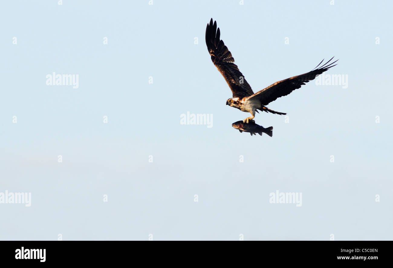 Osprey Pandion haliaetus in flight with Rainbow Trout above the Spey Valley, Scotland - Stock Image