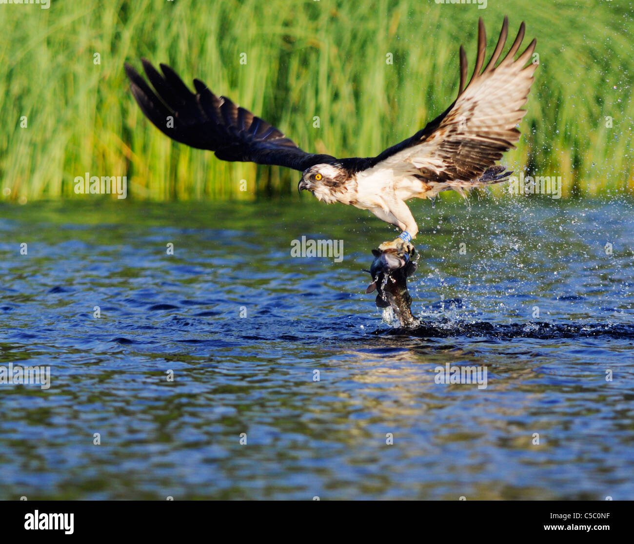 Osprey Pandion haliaetus with large trout in Talons, Spey Valley, Scotland - Stock Image
