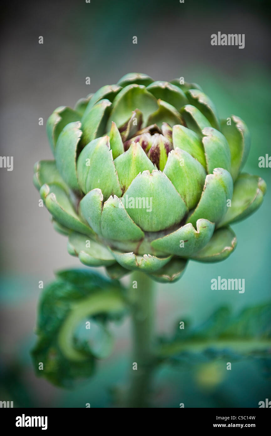 Detail shot of an artichoke against blurred background - Stock Image