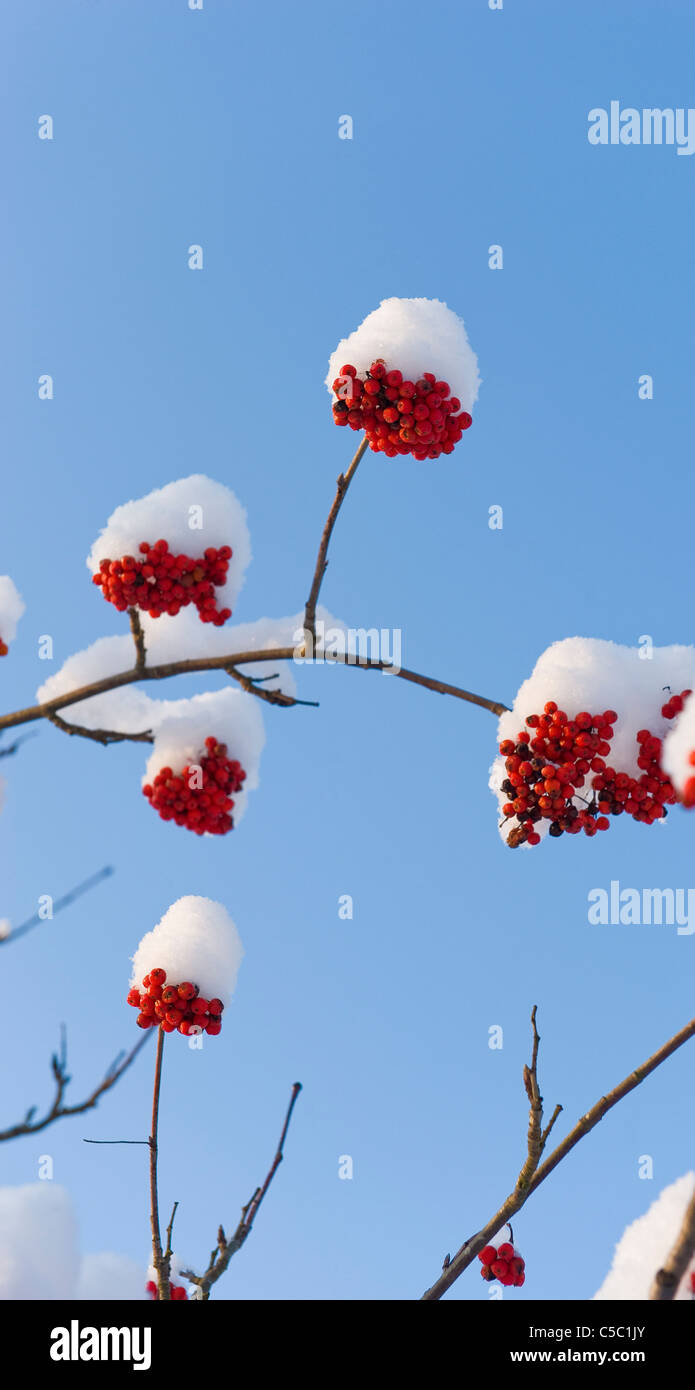Close-up of rowan in snow against clear blue sky - Stock Image