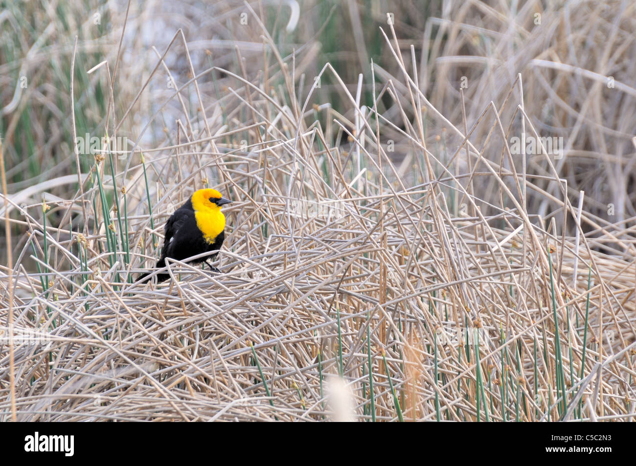 A male yellow headed blackbird sits amongst reeds looking for a mate. Stock Photo