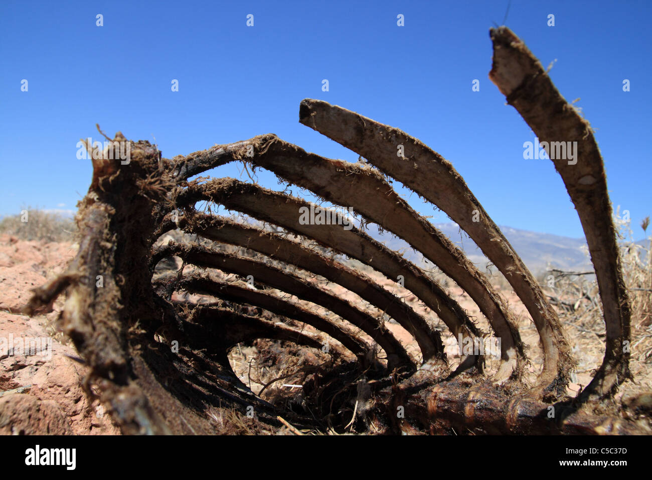 dead sheep carcass rib cage viewed from the open end - Stock Image