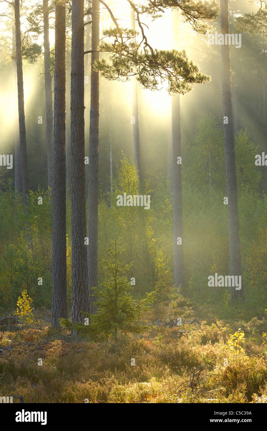 View of fog in the scenic coniferous forest - Stock Image