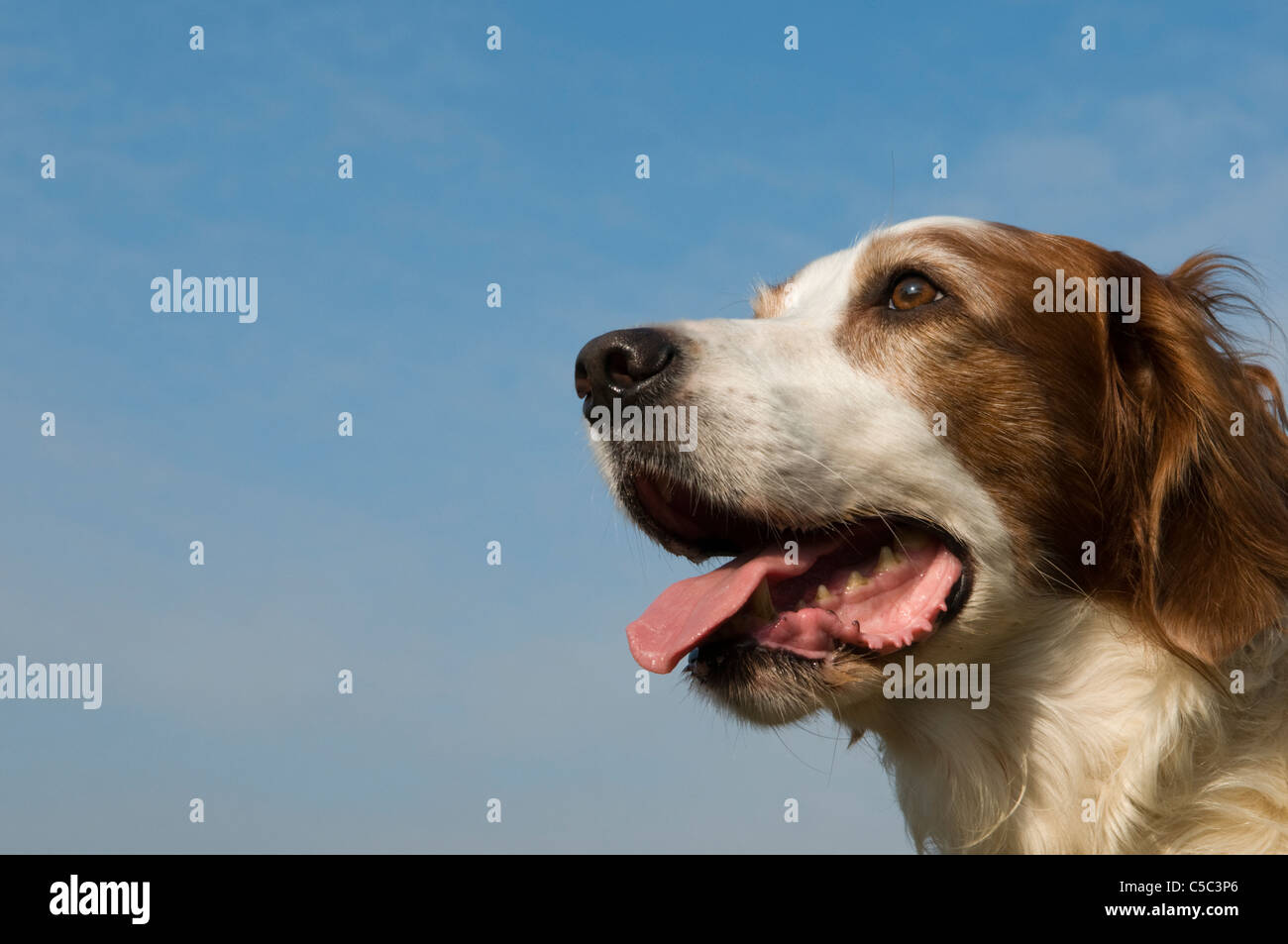 Portrait of an Irish Red and White Setter Dog - Stock Image