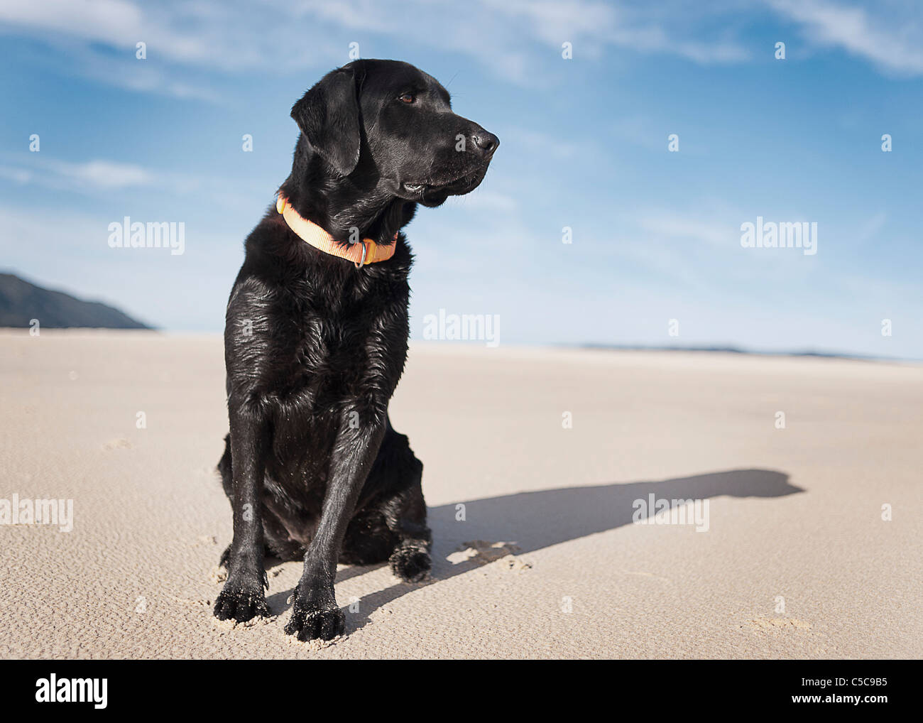 Black Labrador Dog On Beach; Los Lances Beach, Tarifa, Cadiz, Andalucia, Spain - Stock Image