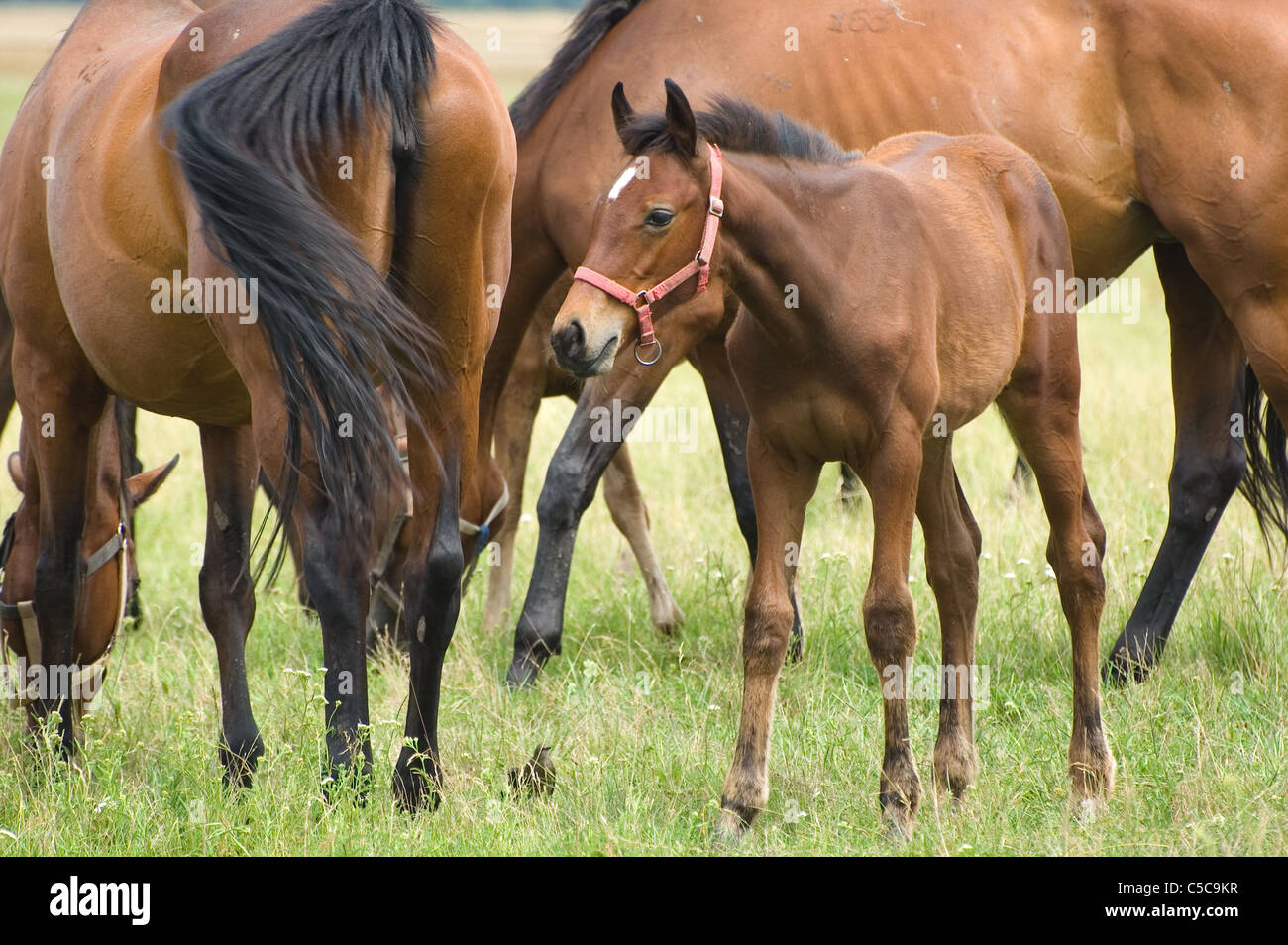 A foal with a herd of horses on a pasture - Stock Image