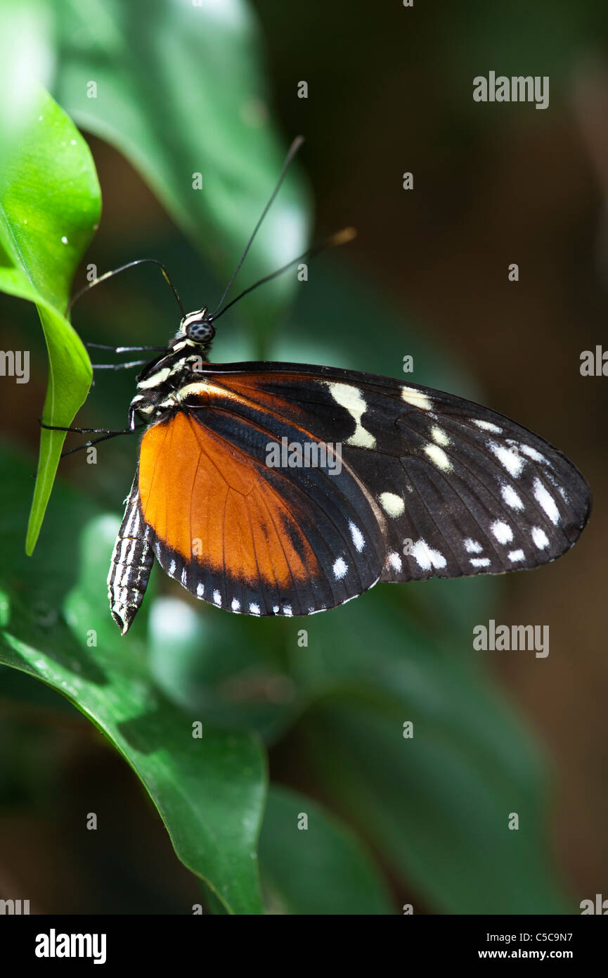 Heliconius hecale . Tiger Longwing butterfly - Stock Image