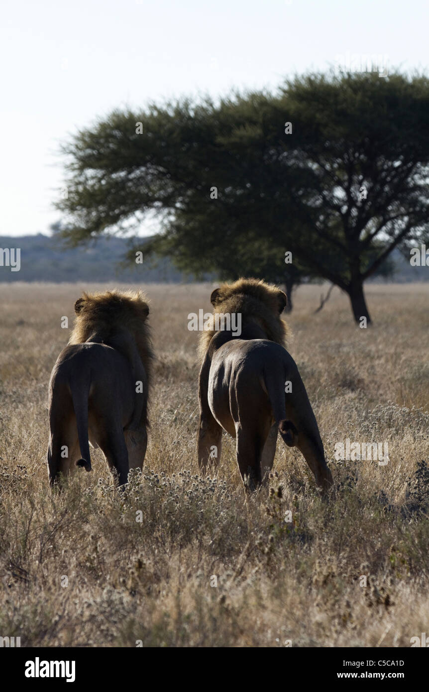 Pair of male lions in the Central Kalahari - Stock Image