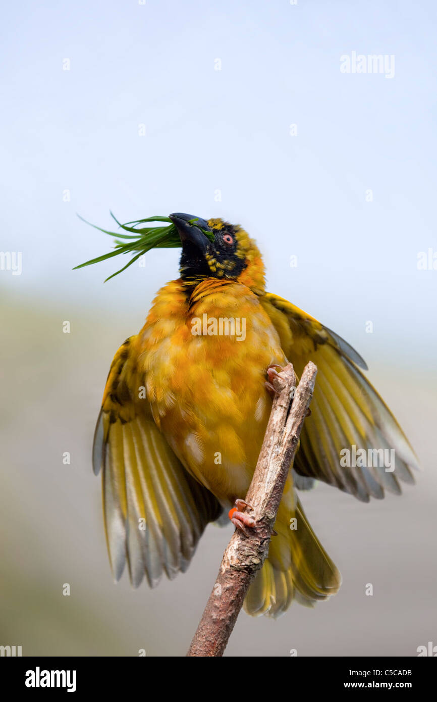 Village Weaver Bird; Ploceus cucullatus; on branch - Stock Image