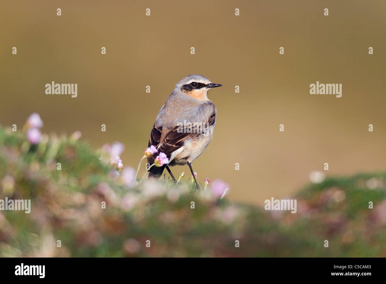 Wheatear; Oenanthe oenanthe; male; Cornwall - Stock Image