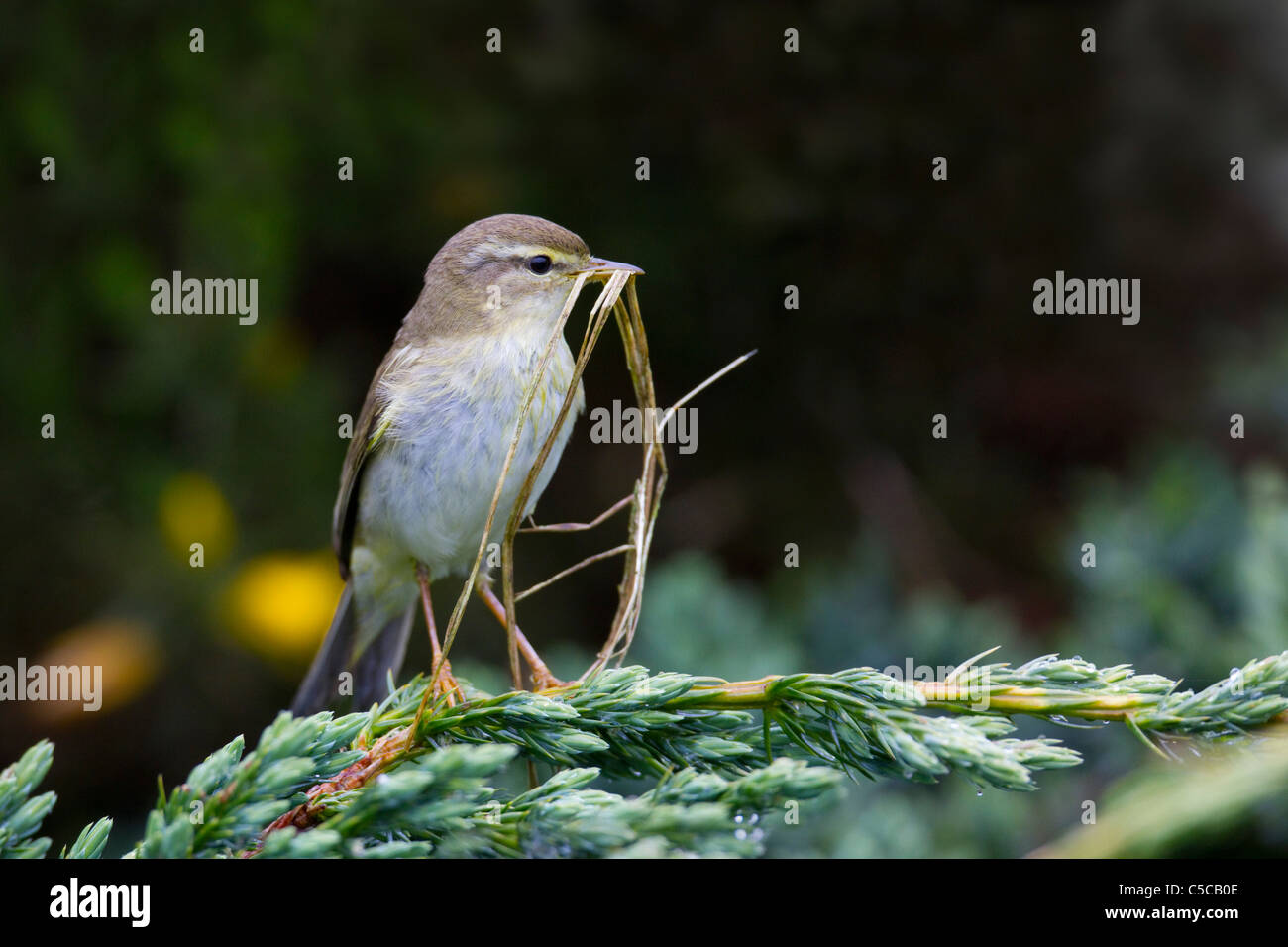 Willow Warbler; Phylloscopus trochilus; Scotland; with nesting material - Stock Image