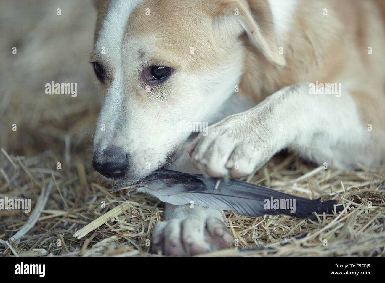 Young dog plays and eats feathers of bird - Stock Image