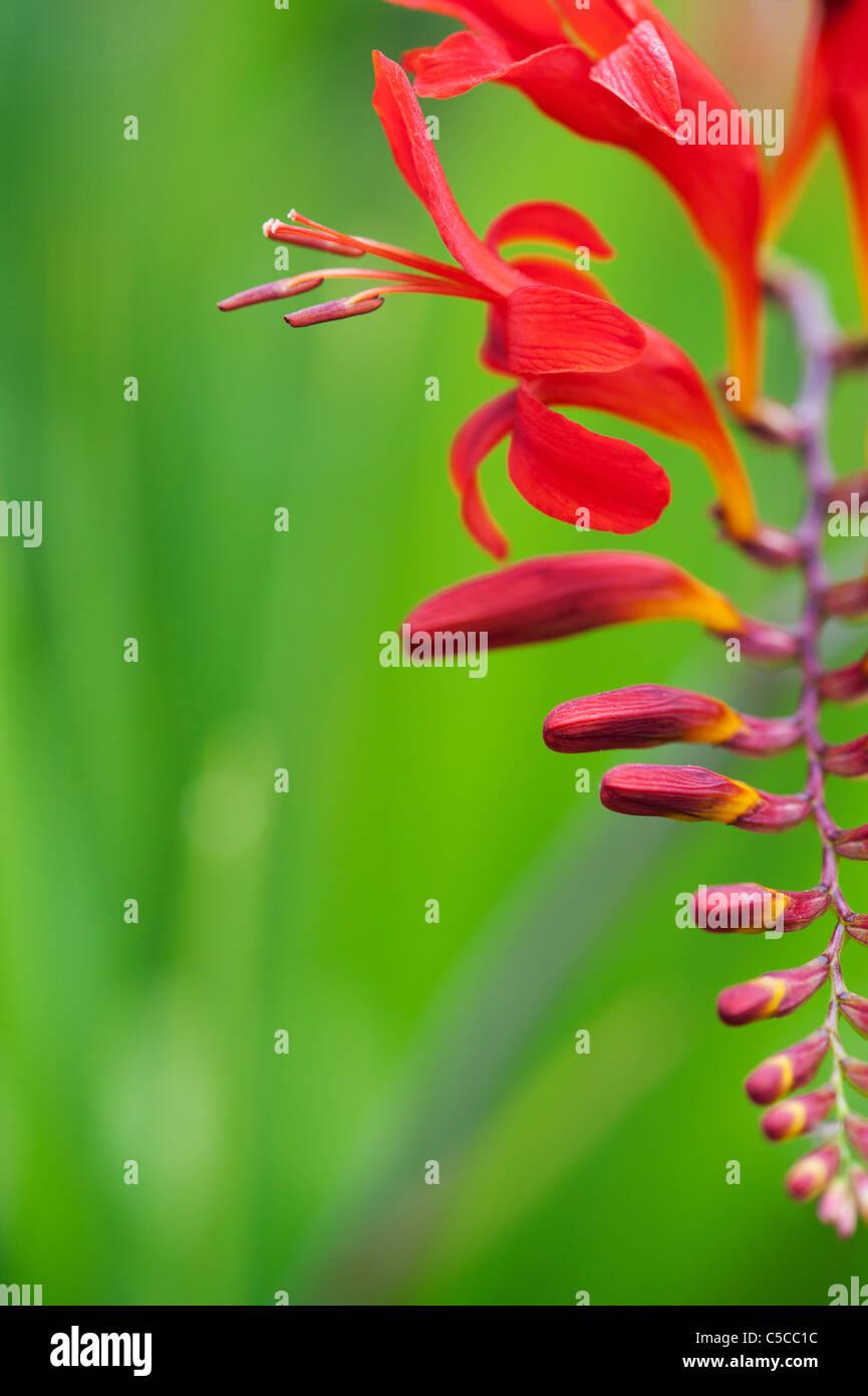 Crocosmia lucifer flowers in an english garden Stock Photo