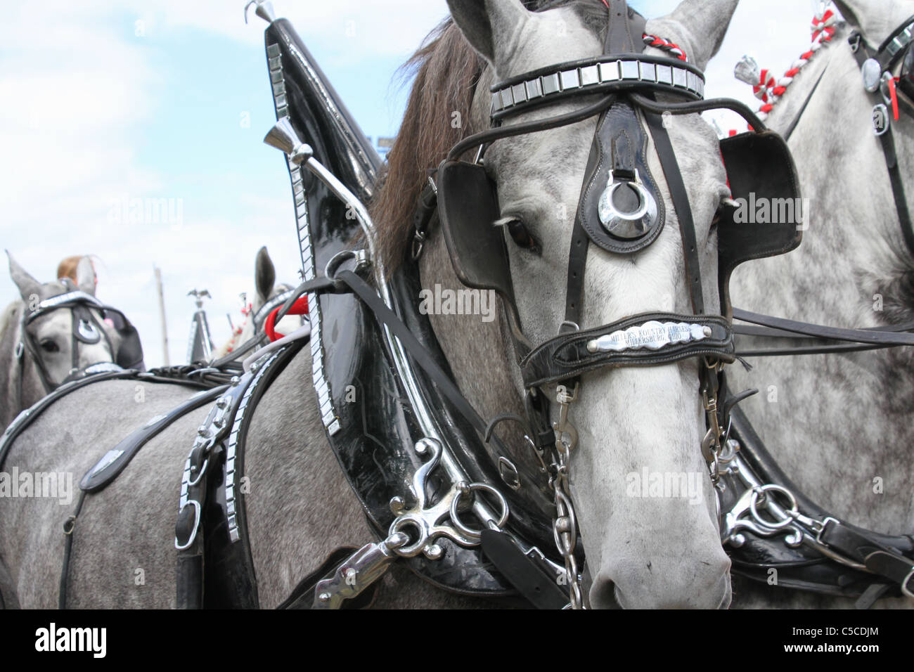 Workhorse with harness. Draft Horses Pulling A Wagon. - Stock Image