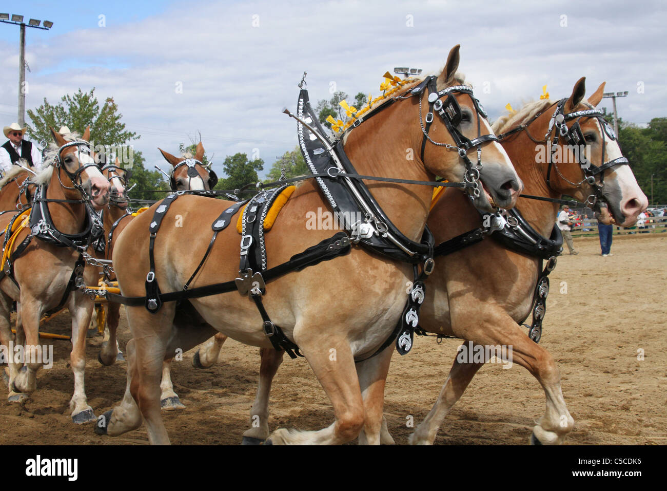 Work Horse Pulling Harness Wire Data Programmable Logic Controller Ladder Diagram Plc Youyunxia Workhorses With Harnesses Draft Horses A Wagon Canfield Rh Alamy Com Parts Replacement