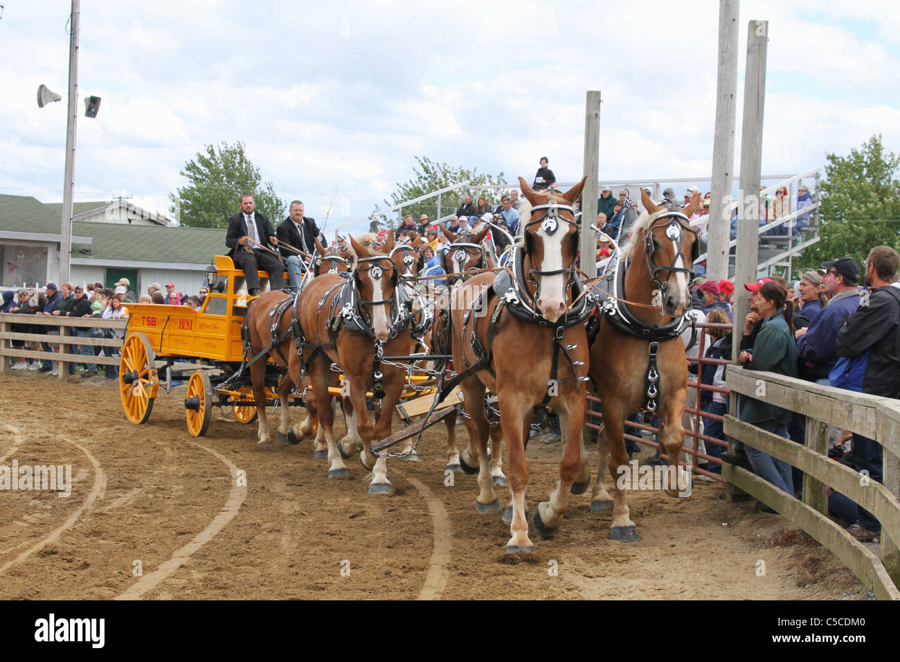 Draft Horses Pulling A Wagon. Workhorses with harnesses. - Stock Image