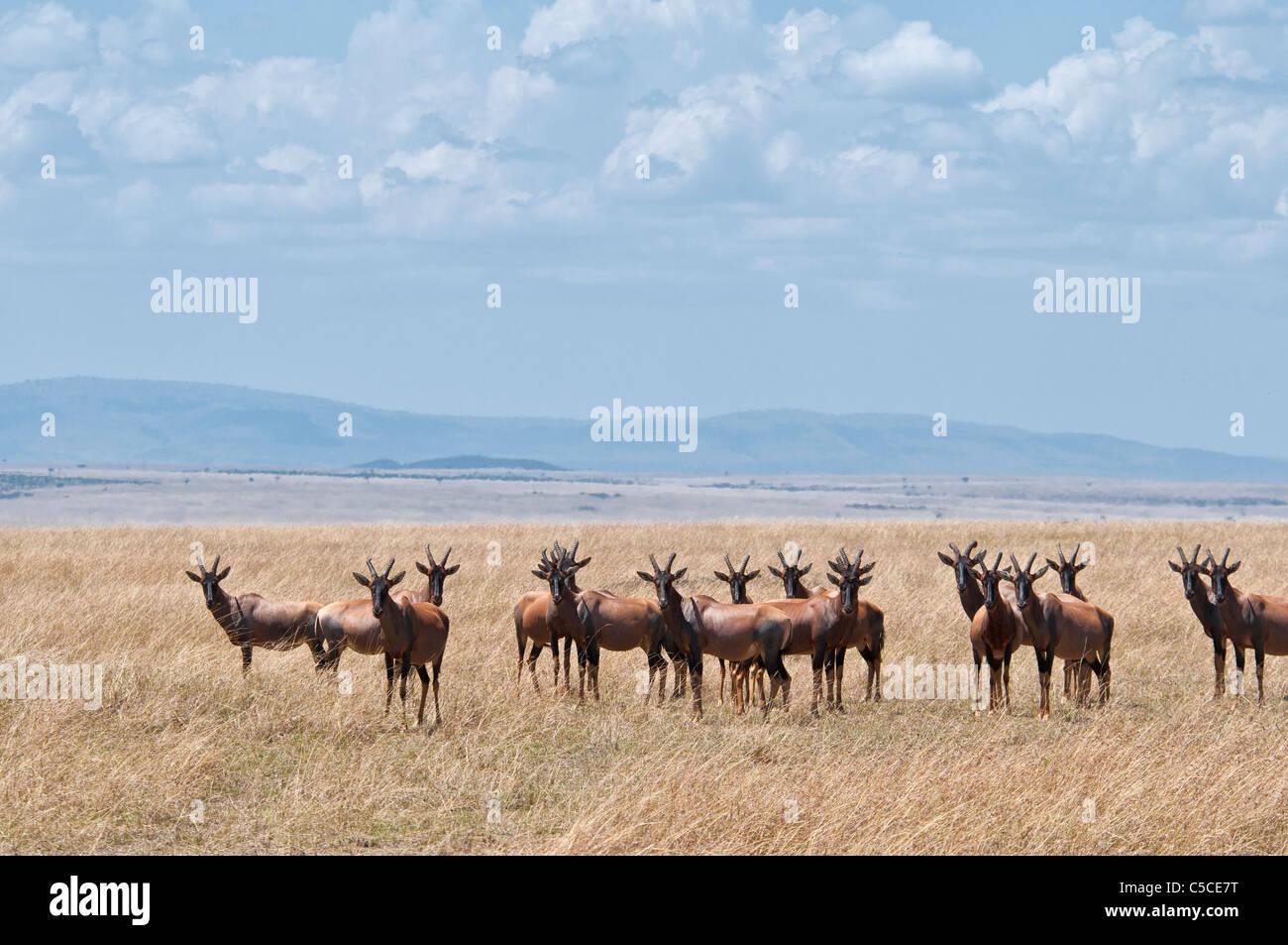 Herd of Topi, Damaliscus lunatus, on the plain of the Masai Mara, Kenya, Africa - Stock Image