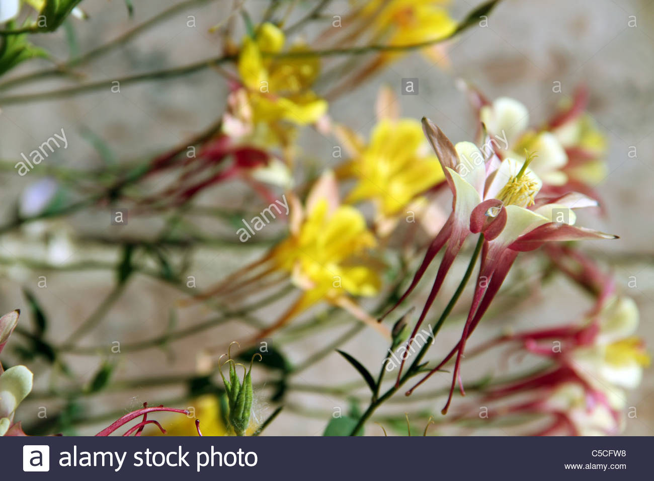 Columbine flower colors gallery flower wallpaper hd columbines flowers image collections flower wallpaper hd magnificent columbine flower colors ornament coloring page delicate red izmirmasajfo
