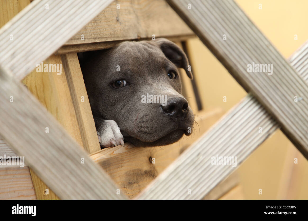 Young Staffordshire Bull Terrier looking through a hole in a box - Stock Image