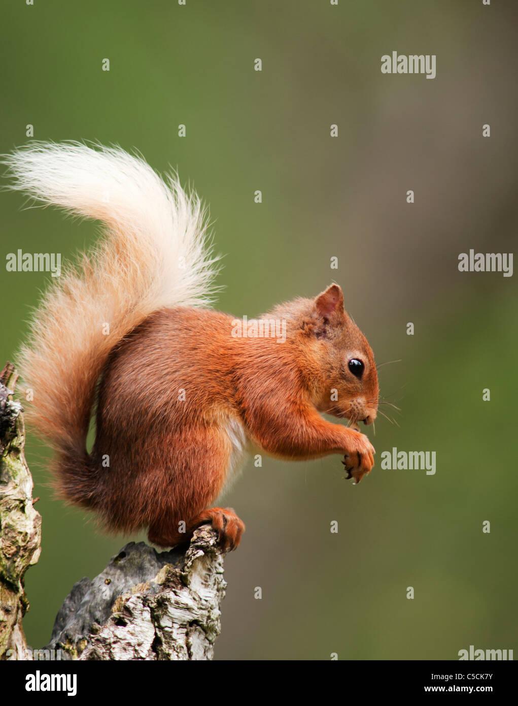Red Squirrel Sciurus vulgaris feeding on tree stump in woodland,  Strathspey, Scotland Stock Photo