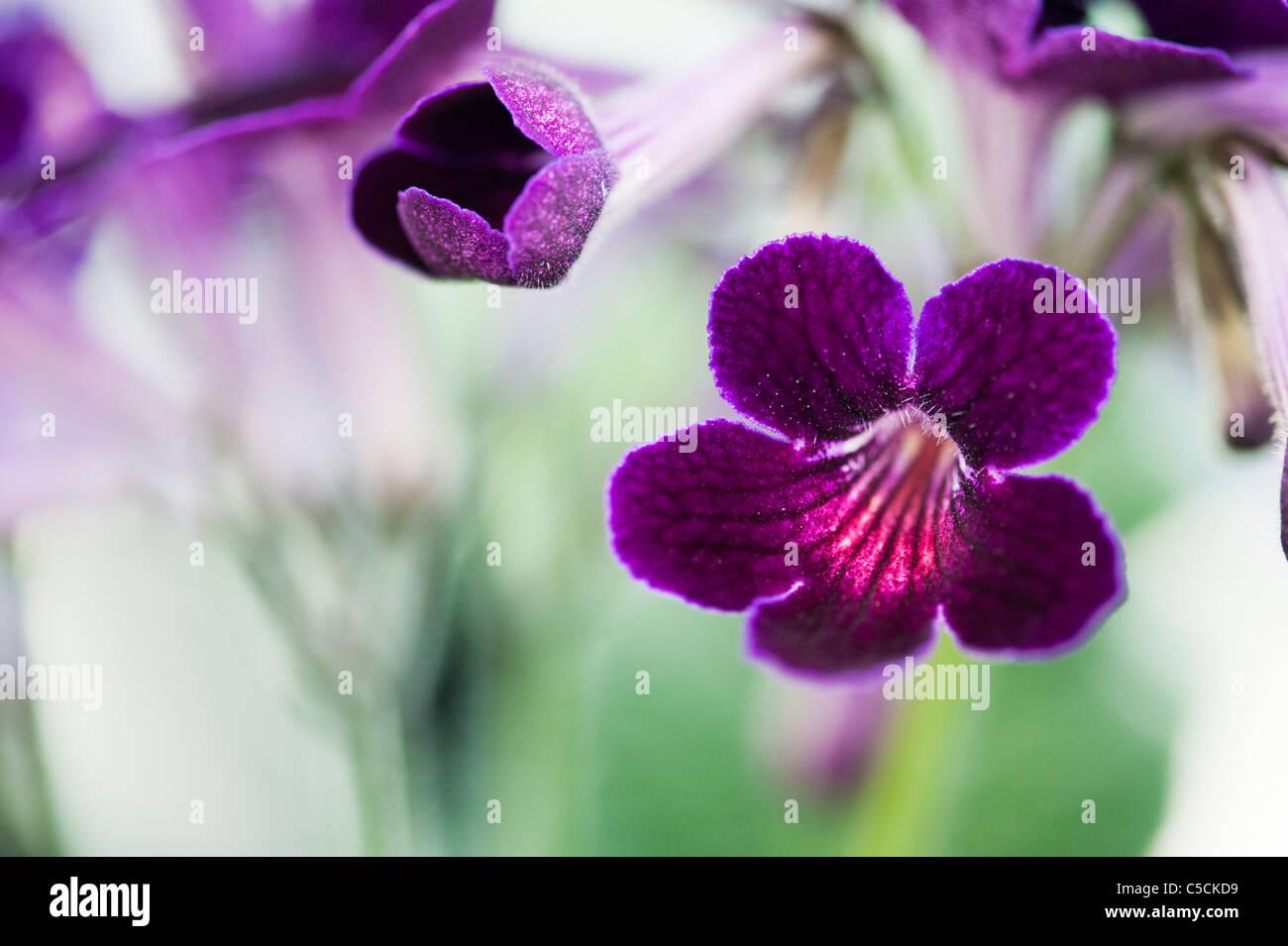 Streptocarpus 'Iona' . Cape Primrose flowers - Stock Image
