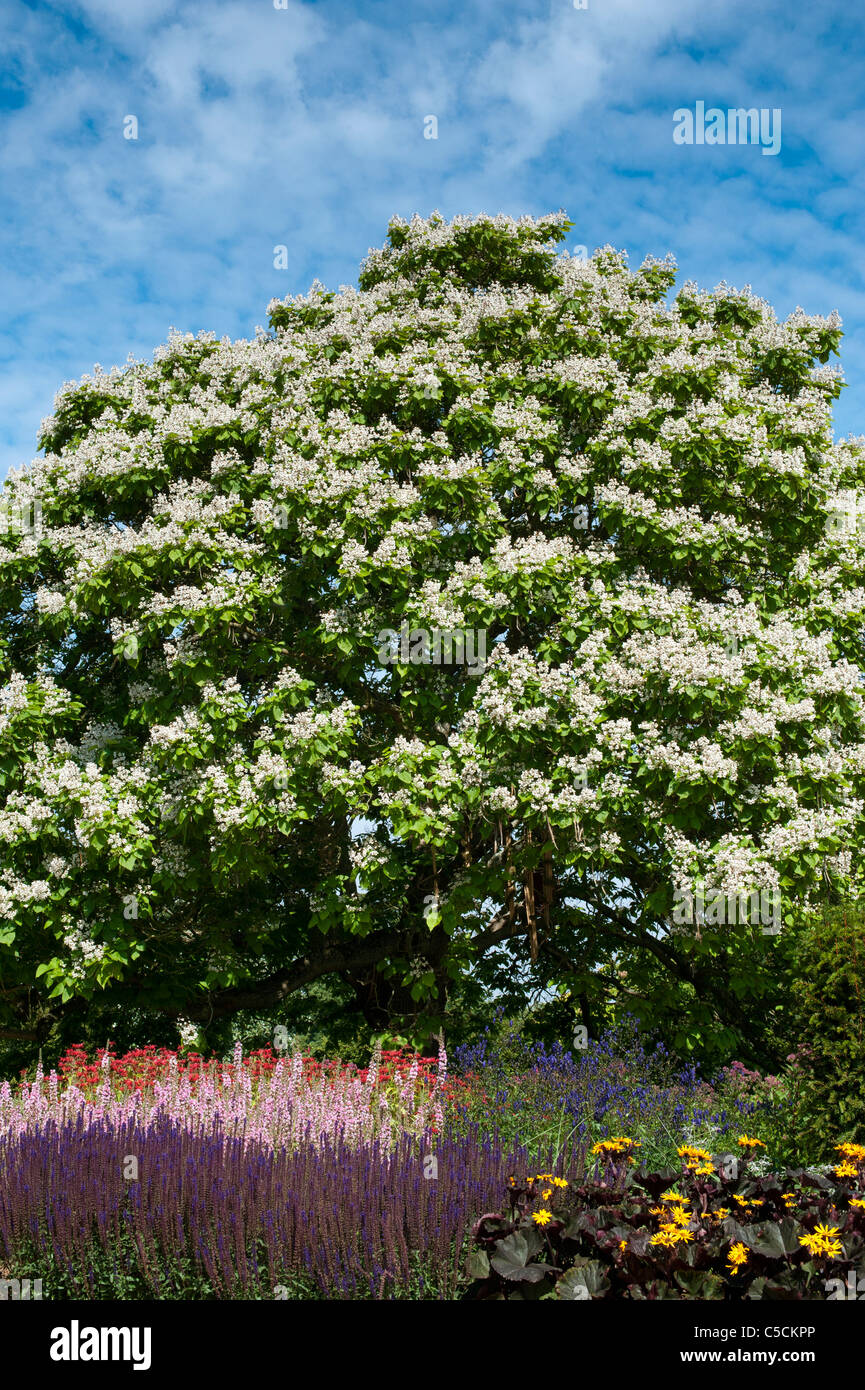 Mature indian bean tree for sale