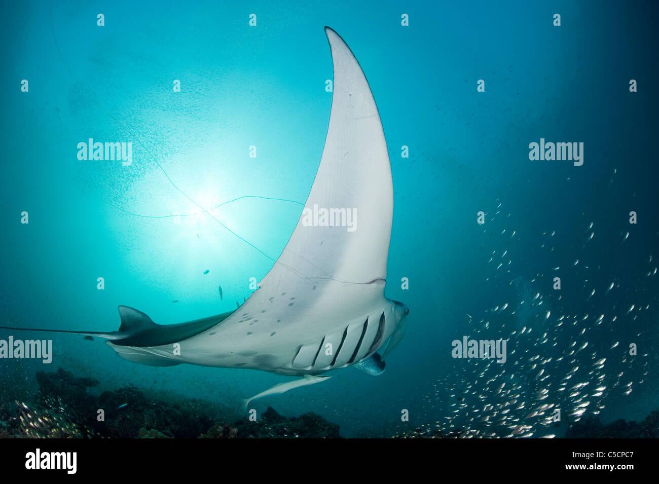 manta ray entangled in monofilament fishing line, Hanifaru Lagoon, Baa Atoll, Maldives - Stock Image