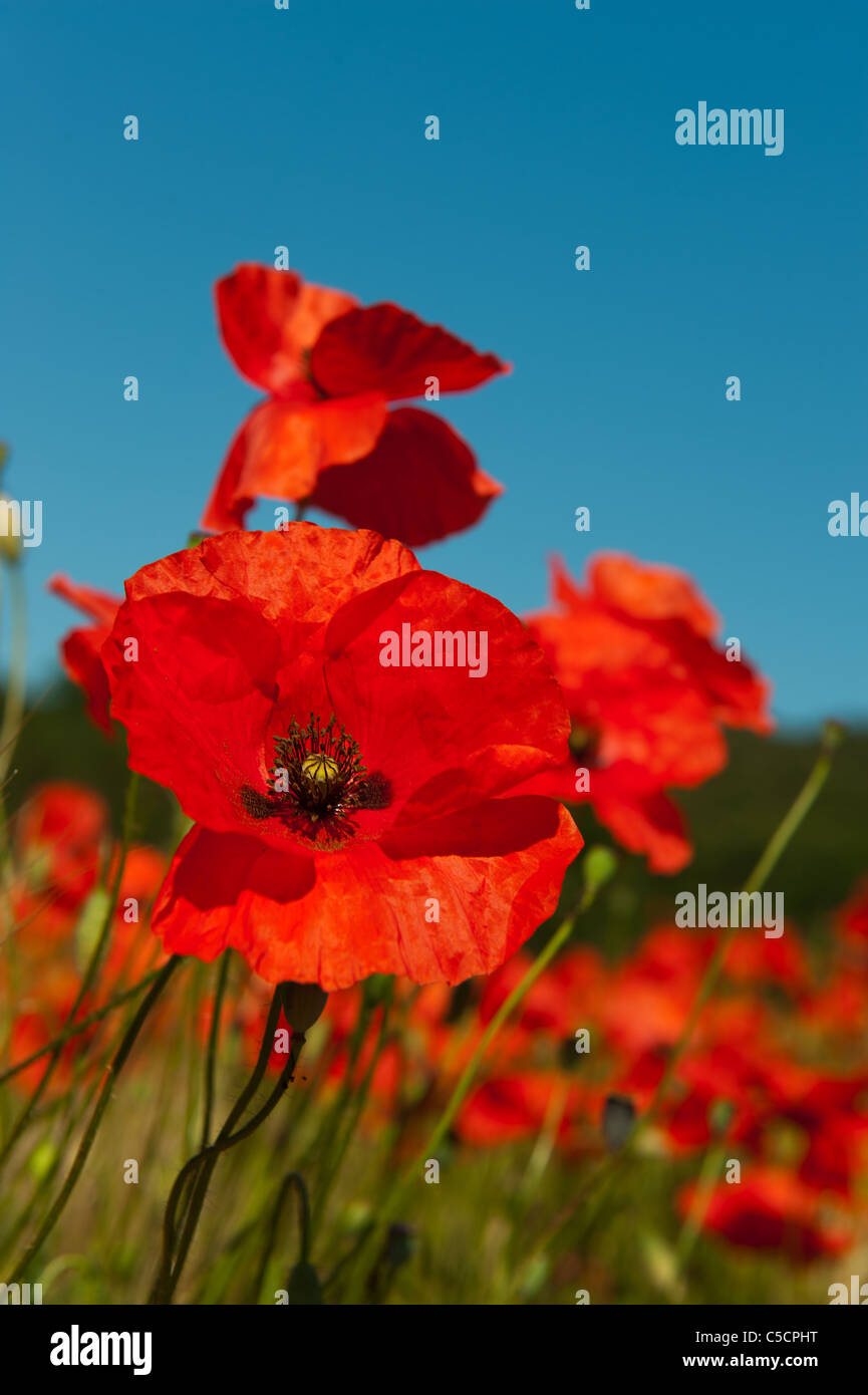Poppies in the french fields stock photo 37775188 alamy poppies in the french fields mightylinksfo