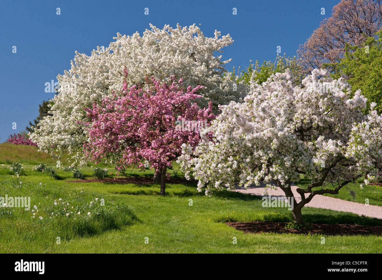 Flowering Crabapple Trees Stock Photos Flowering Crabapple Trees