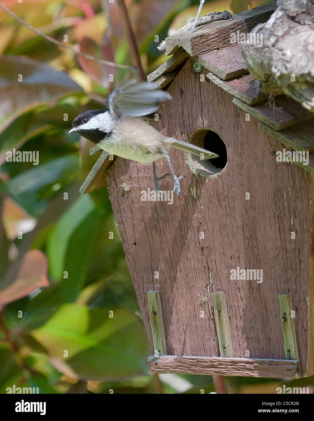 Adult chickadees in flight leaving birdhouse - Stock Image